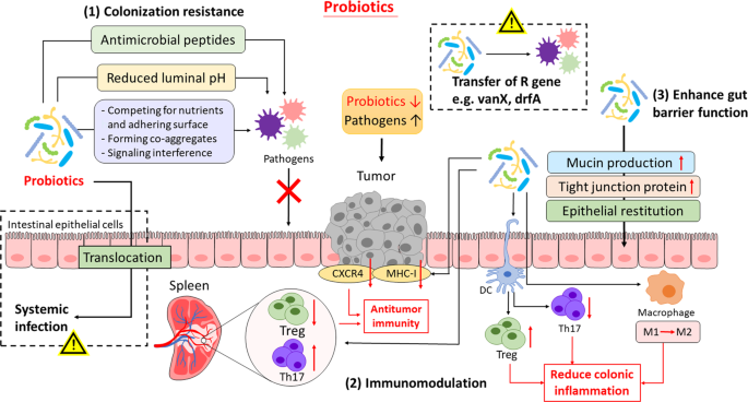 Gut Microbiota Modulation A Novel Strategy For Prevention And Treatment Of Colorectal Cancer Oncogene
