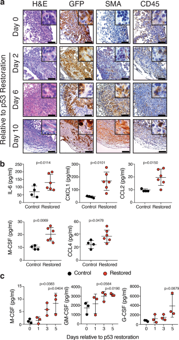 Natural killer cells limit the clearance of senescent lung adenocarcinoma cells