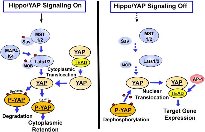 Yes-associated protein (YAP) in pancreatic cancer: at the epicenter of a targetable signaling ...