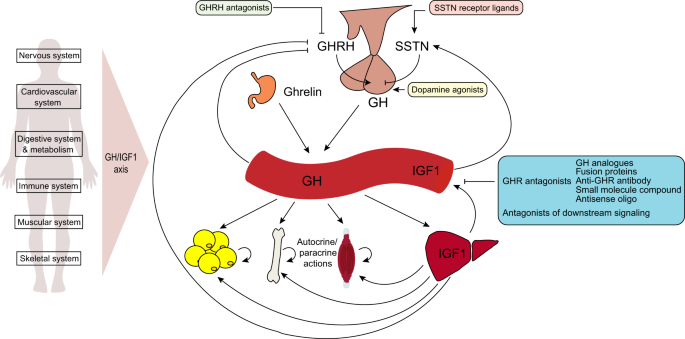 endocrine regulation of gh and therapeutic blockade  gh is secreted from  the anterior pituitary under the control of hypothalamic hormones, growth  hormone