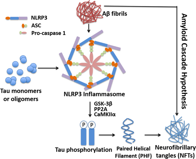 NLRP3 inflammasome as a novel therapeutic target for Alzheimer's disease
