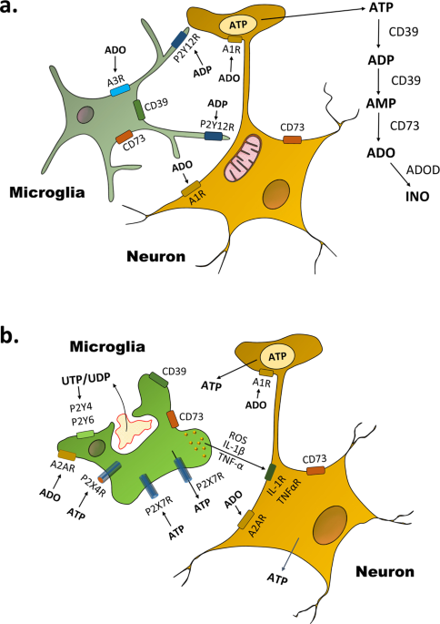 Surveilling microglia dampens neuronal activity: operation of a purinergically mediated negative feedback mechanism