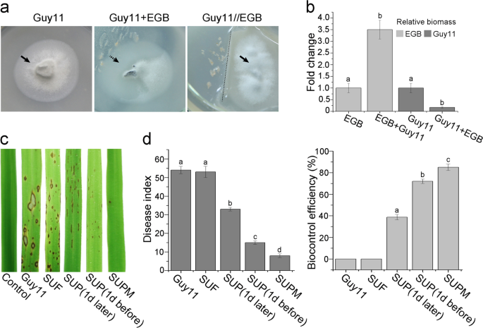 A novel outer membrane β 1 6 glucanase is deployed in the predation