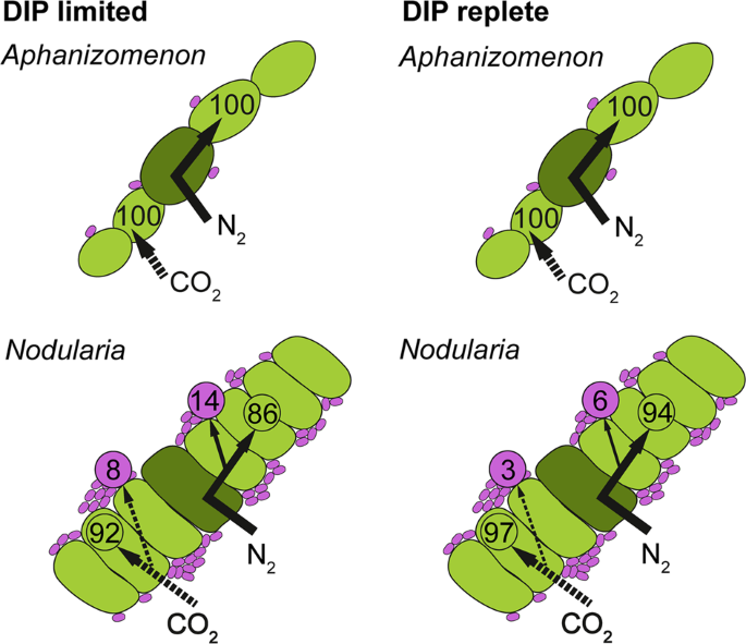 Phosphate availability affects fixed nitrogen transfer from diazotroph