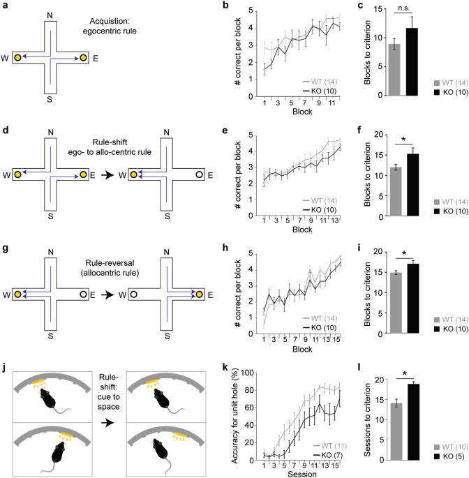 Schizophrenia-related cognitive dysfunction in the Cyclin-D2 knockout mouse model of ventral hippocampal hyperactivity