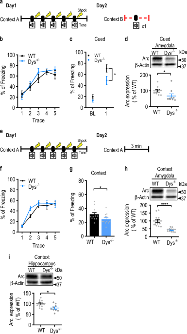 Deletion of <i>Dtnbp1</i> in mice impairs threat memory consolidation and is associated with enhanced inhibitory drive in the amygdala