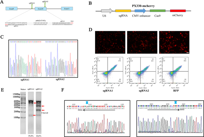 CRISPR/Cas9 mediated gene correction ameliorates abnormal phenotypes in spinocerebellar ataxia type 3 patient-derived induced pluripotent stem cells - Translational Psychiatry