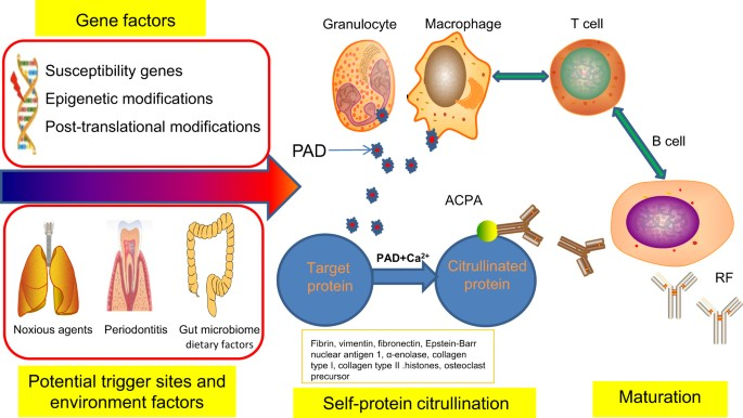 Rheumatoid Arthritis Pathological Mechanisms And Modern Pharmacologic Therapies Bone Research