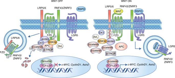 05a0efb5bd0 LGR5 has a well-defined function in the promotion of Wnt β-catenin  signalling in normal intestinal stem cells. Without RSPO bound to LGR5