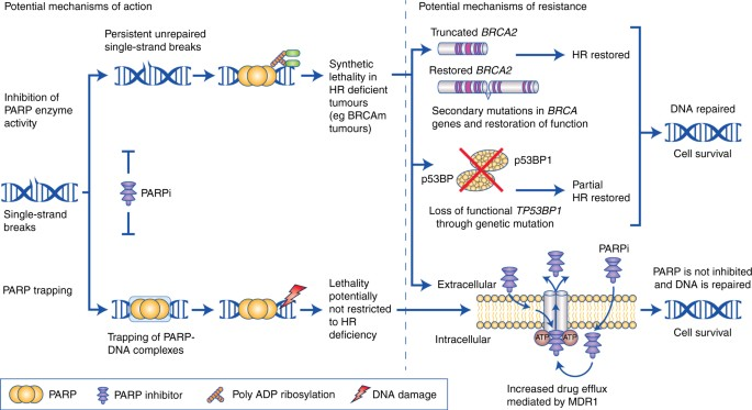 Brca 1 2 Testing Therapeutic Implications For Breast Cancer Management British Journal Of Cancer