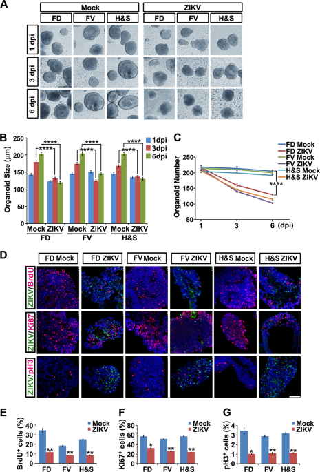 Protection of ZIKV infection-induced neuropathy by abrogation of acute antiviral response in human neural progenitors