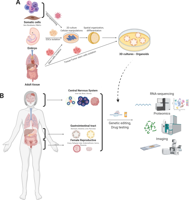 Engineering organoids: a promising platform to understand biology and treat diseases