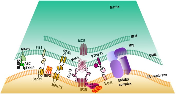 The Role Of The Mitochondria And The Endoplasmic Reticulum