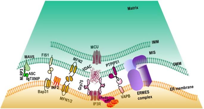 role   mitochondria   endoplasmic reticulum contact sites   development