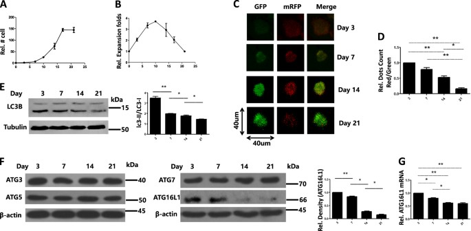 miR-142-3p regulates autophagy by targeting ATG16L1 in