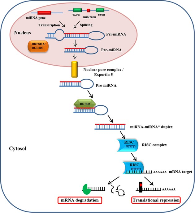 the carnitine system and cancer metabolic plasticity cell deathmicrornas are transcribed by rna polymerases ii and iii in pri mirnas, generating precursors that undergo a series of cleavage events to form mature