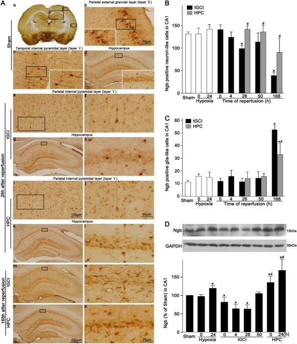 Neuroglobin mediates neuroprotection of hypoxic