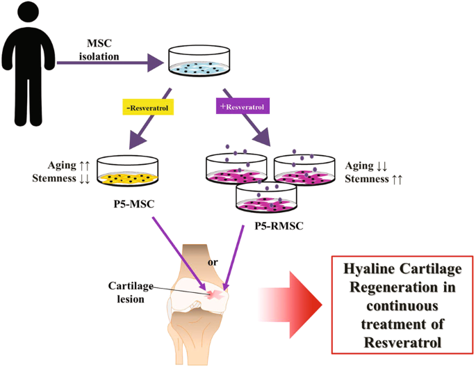 enhanced articular cartilage regeneration with sirt1 activated mscs