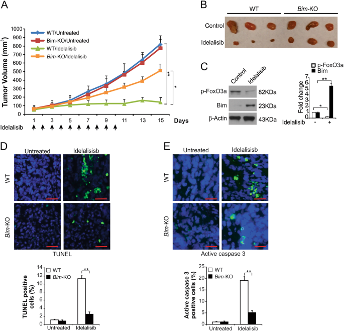 Idelalisib promotes Bim-dependent apoptosis through AKT/FoxO3a in hepatocellular carcinoma