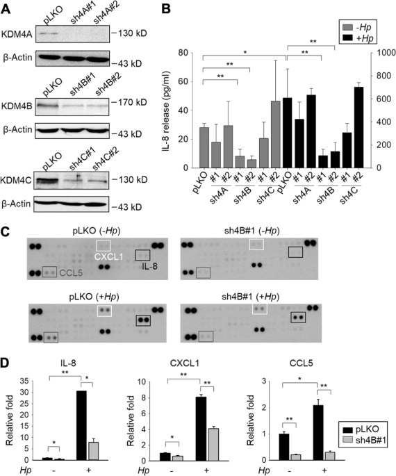 KDM4B is a coactivator of c-Jun and involved in gastric ...