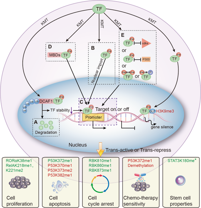 Lysine methylation of transcription factors in cancer
