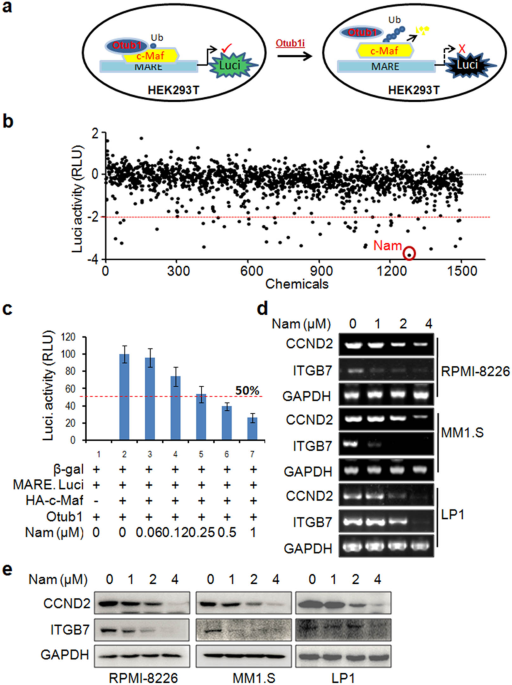 Anti-bacterial and anti-viral nanchangmycin displays anti-myeloma activity by targeting Otub1 and c-Maf