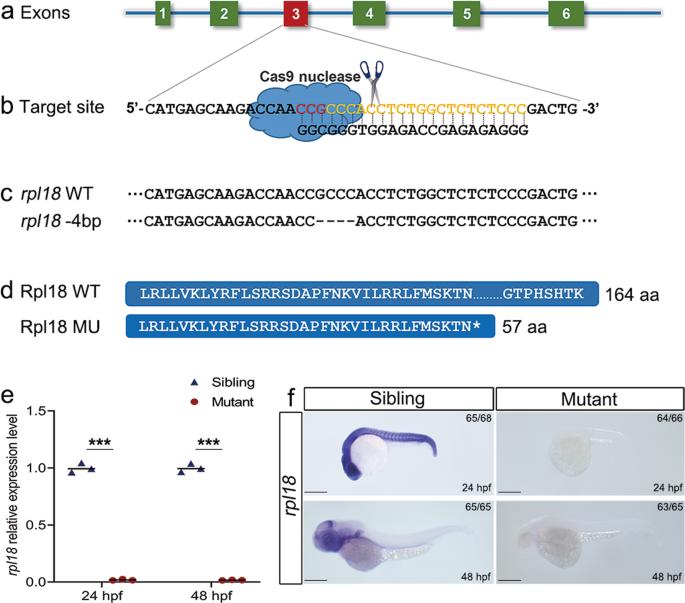The nuclear gene rpl18 regulates erythroid maturation via JAK2-STAT3 signaling in zebrafish model of Diamond–Blackfan anemia