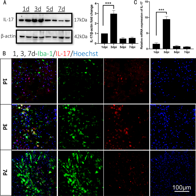 Antagonistic effects of IL-17 and Astragaloside IV on cortical neurogenesis and cognitive behavior after stroke in adult mice through Akt/GSK-3β pathway