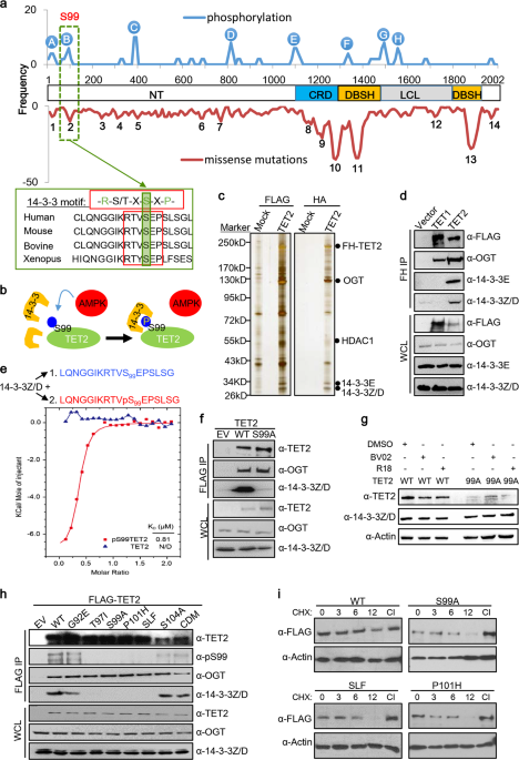 TET2 stabilization by 14-3-3 binding to the phosphorylated Serine 99 is deregulated by mutations in cancer