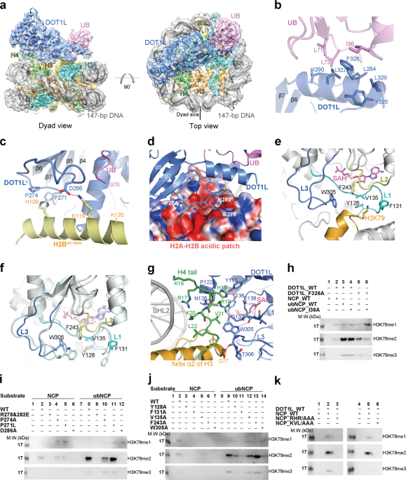 Structural basis of the crosstalk between histone H2B monoubiquitination and H3 lysine 79 methylation on nucleosome