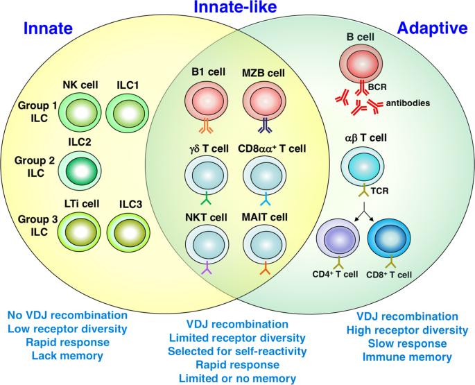 Innate, innate-like and adaptive lymphocytes in the pathogenesis of MS and EAE