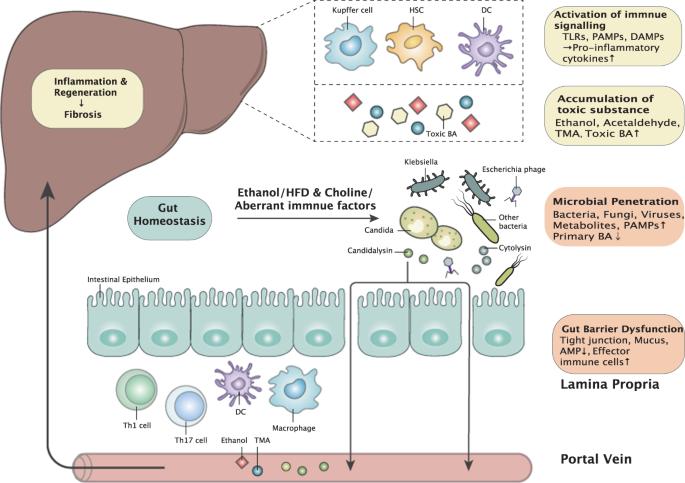 Dysbiosis liver. Microbiota intestinală schimbă paradigmele în ciroza hepatică Dysbiosis liver