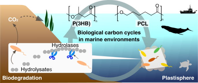 Biodegradability of poly(3-hydroxyalkanoate) and poly(ε-caprolactone) via biological carbon cycles in marine environments