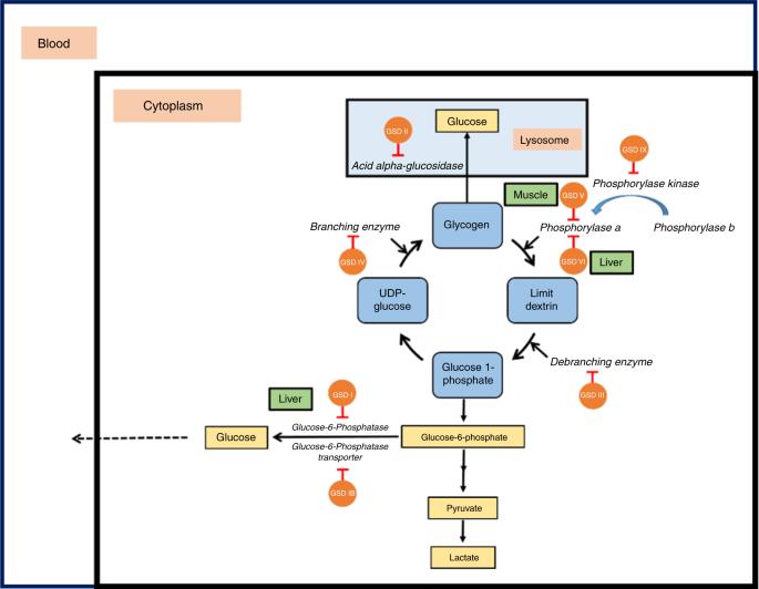 glycogen storage disease type 0 diet plan