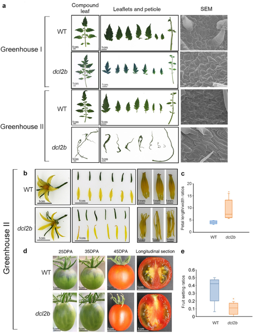Tomato DCL2b is required for the biosynthesis of 22-nt small