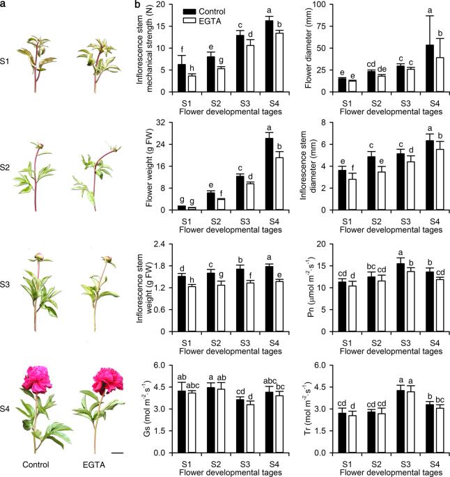 EGTA reduces the inflorescence stem mechanical strength of