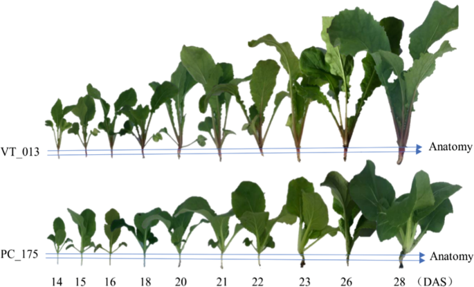 what makes turnips  anatomy  physiology and transcriptome during early stages of its hypocotyl