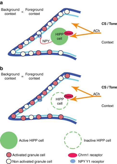 Hipp Neurons In The Dentate Gyrus Mediate The Cholinergic Modulation
