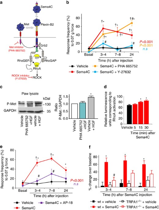 Semaphorin 4c plexin b2 signaling in peripheral sensory neurons is sema4c activates the rhoa rock pathway in peripheral sensory neurons to induce mechanical hypersensitivity a schematic representation of the diverse ccuart Image collections