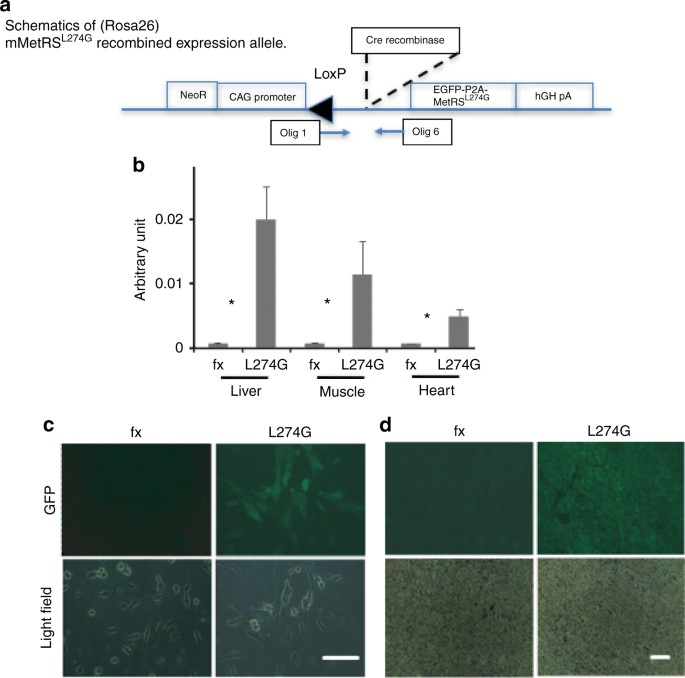 Application of bio-orthogonal proteome labeling to cell