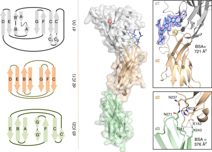 Molecular basis of human CD22 function and therapeutic