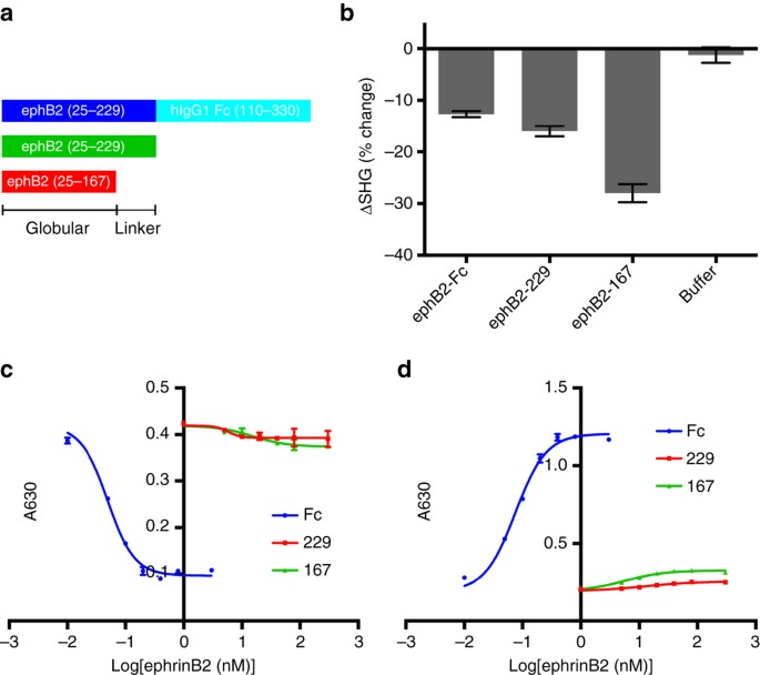 895829a2703f Response of wildtype NiV G to binding of ephrinB2 constructs with varying  length and oligomerization measured by SHG and conformational antibody  binding. a ...