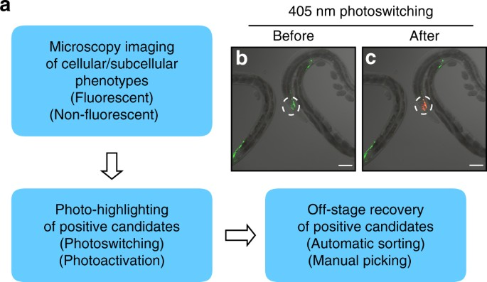 High-throughput screens using photo-highlighting discover BMP