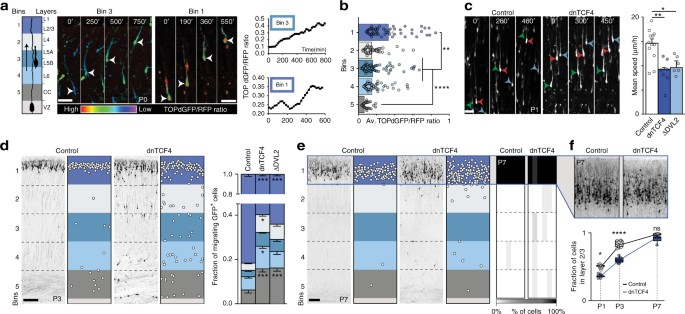 perturbed wnt signaling leads to neuronal migration delay altered in vivo downregulation of canonical wnt ß catenin signaling reduces migration speed and alters radial distribution of layer 2 3 cpns in the rat