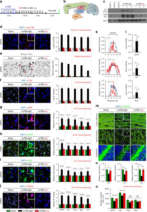 2b3b93bed11eef Eliminating cis P-tau in rmTBI mice with cis mAb prevents the development  of a range of pathological features resembling those found in human CTE.
