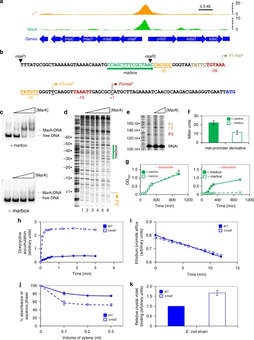 The Multiple Antibiotic Resistance Operon Of Enteric Bacteria