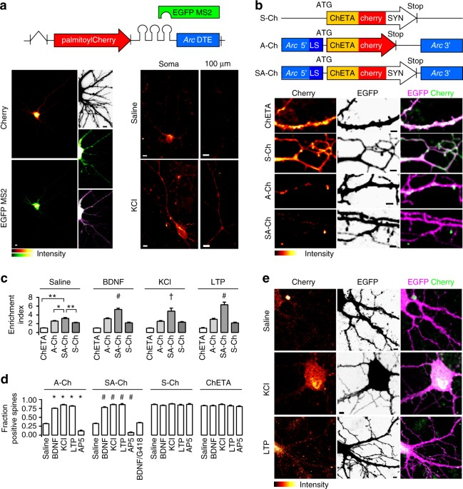 Activity Dependent Expression Of Channelrhodopsin At Neuronal Synapses Nature Communications