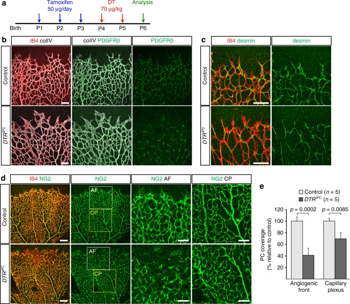 Pericytes Regulate VEGFinduced Endothelial Sprouting Through VEGFR - Fresh c section birth plan template scheme