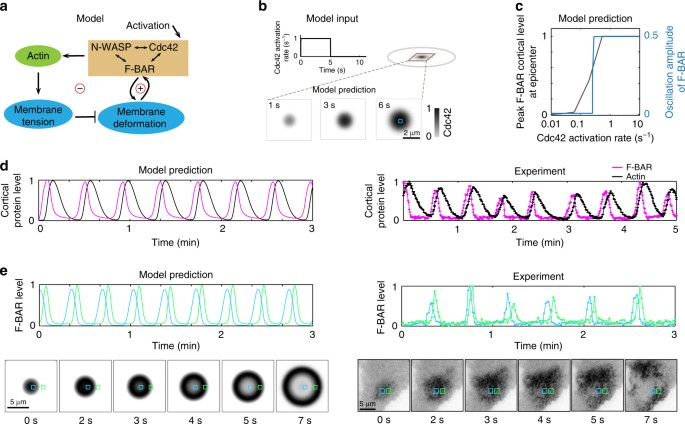 Membrane shape-mediated wave propagation of cortical protein