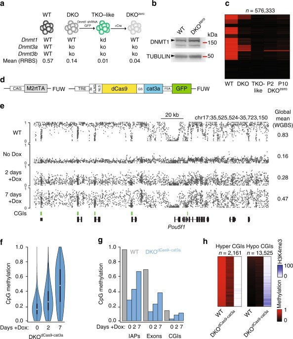 Characterization Of DCas9 Cat3a Activity In A Methylation Depleted Cell Line Overview The Multi Step Generation Dnmt3 De Novo Free
